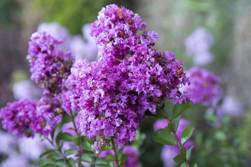 crape-myrtle-blooms-close-up.jpg