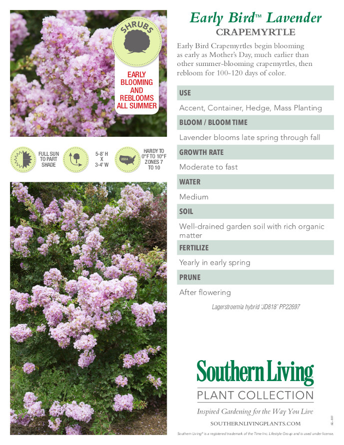 Early Bird Lavender Crape Myrtle Plant Facts