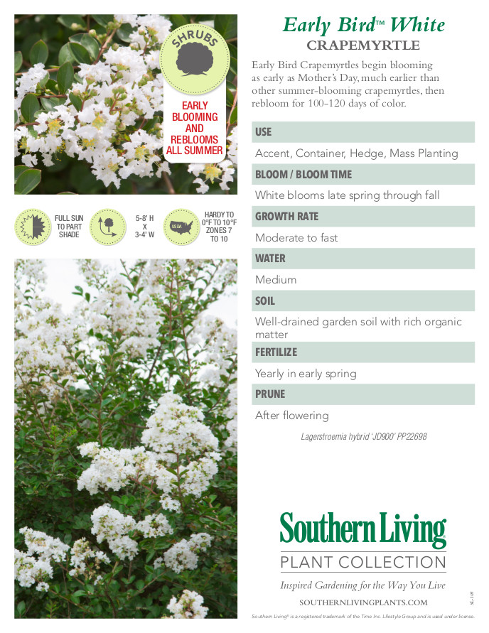 Early Bird White Crape Myrtle Plant Facts