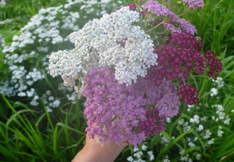 cut-yarrow-flowers-in-a-bouquet.jpg