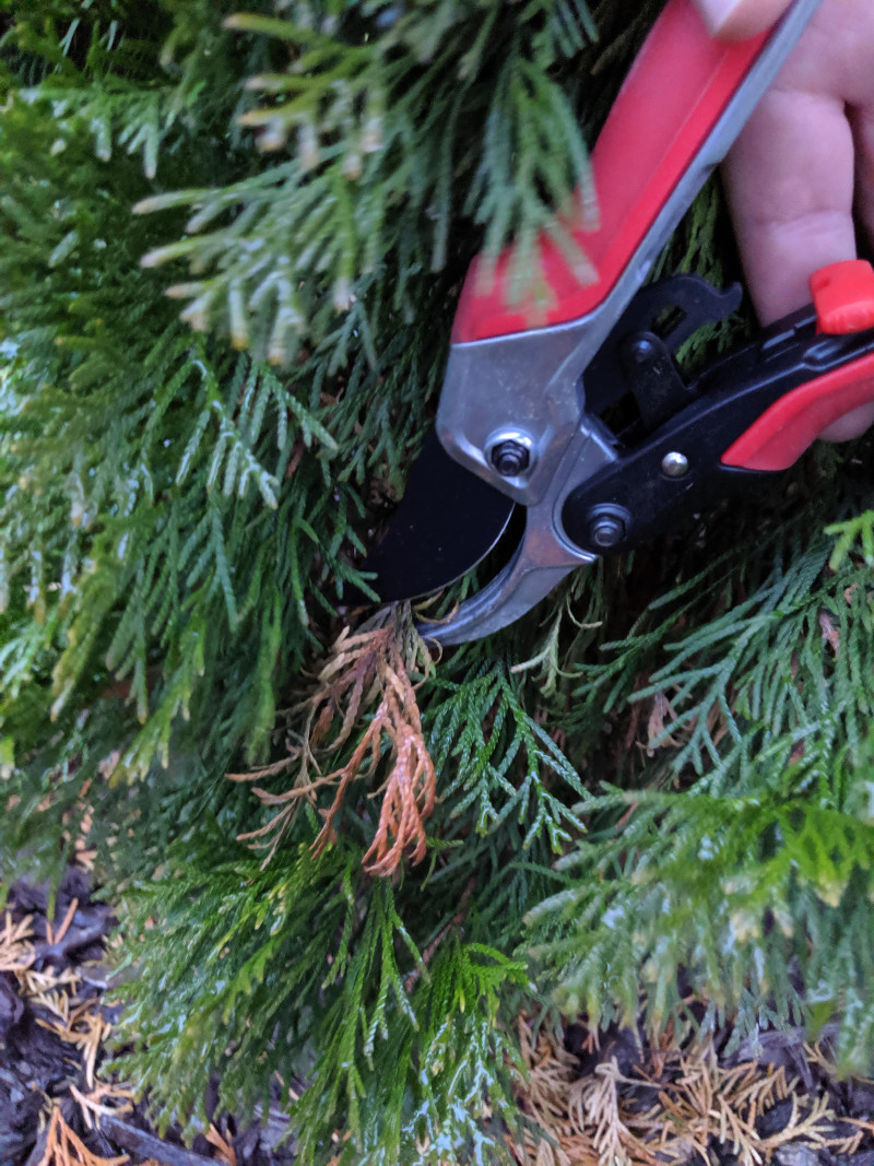 cutting-off-dead-branches-on-arborvitae.jpg