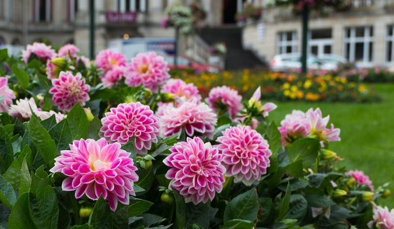 dahlias-blooming-in-the-garden.jpg