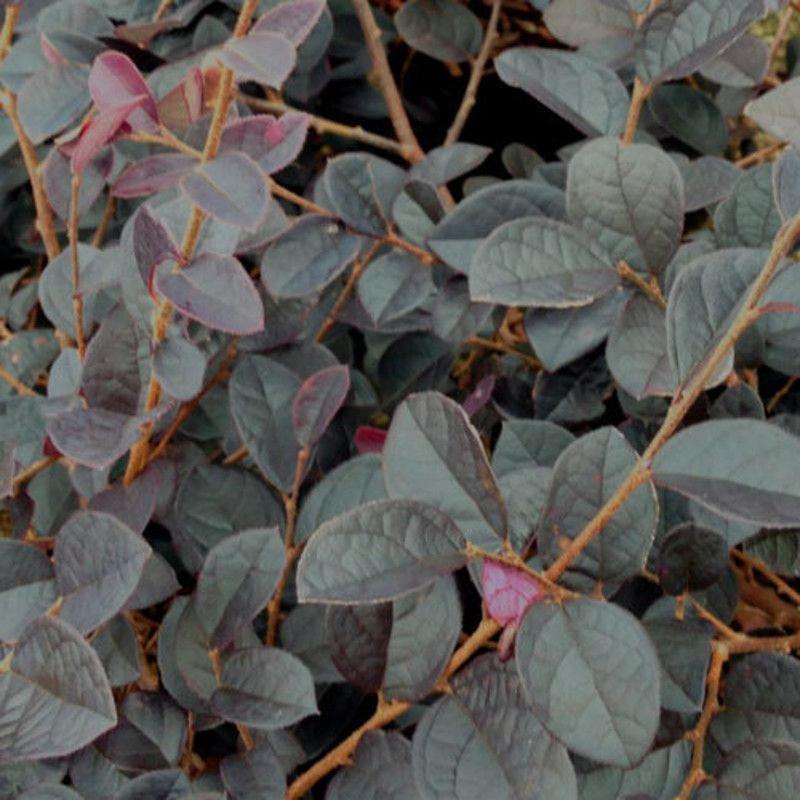 dark-loropetalum-leaves.jpg