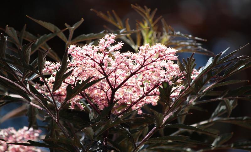 dark-sambuccus-nigra-foliage-and-flowers.jpg