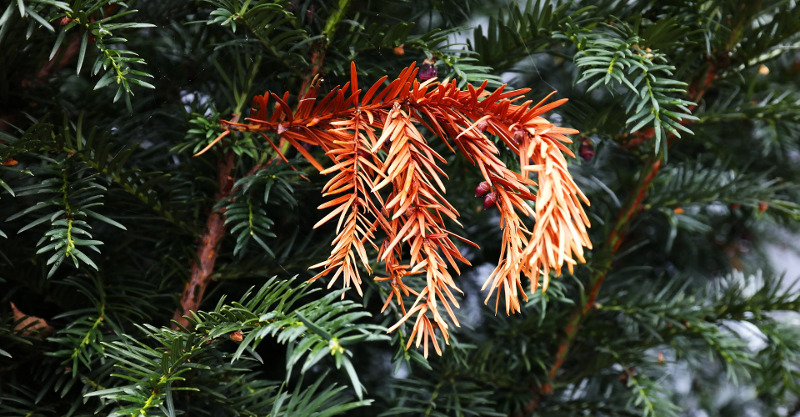 dead-yew-branch-that-needs-trimmed.jpg