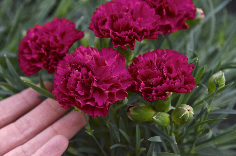 deadheading-dianthus.png