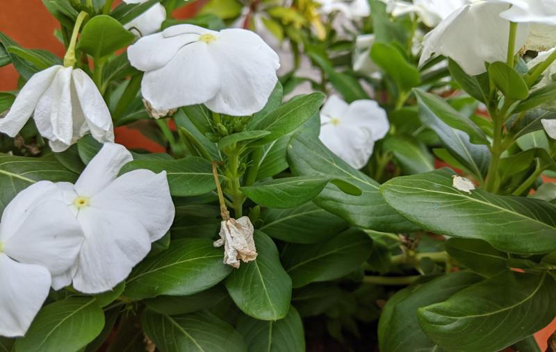 deadheading-vinca-spent-flowers.jpg
