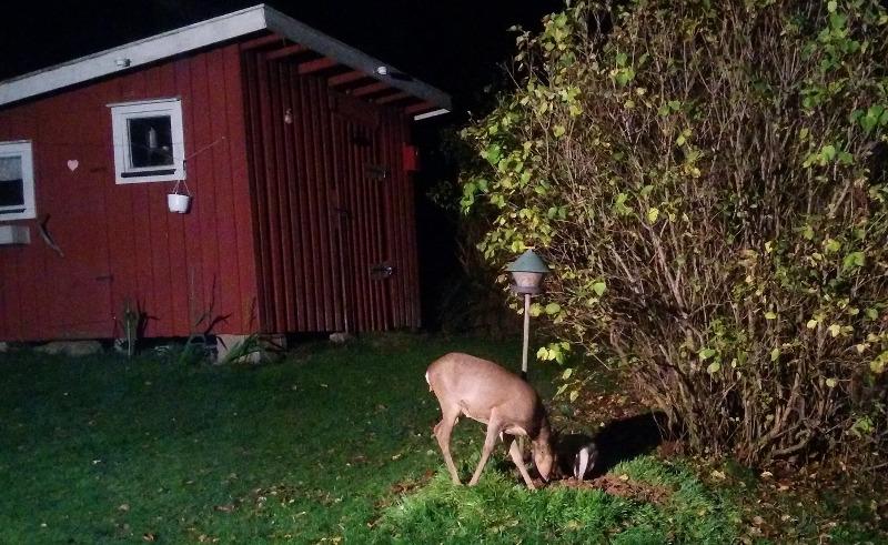 deer-eating-a-shrub.jpg
