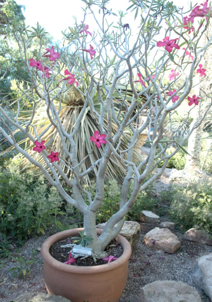 desert-rose-adenium-drops-its-leaves-in-winter.jpg
