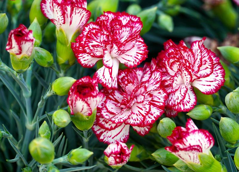 dianthus-flower-buds.jpg