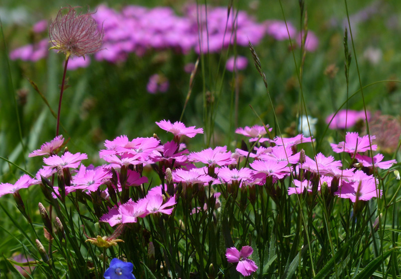 dianthus-growing-up-from-grass.jpg