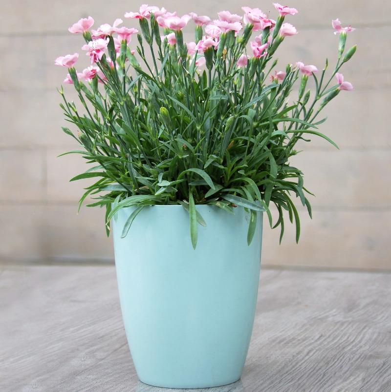 dianthus-in-garden-planter.jpg