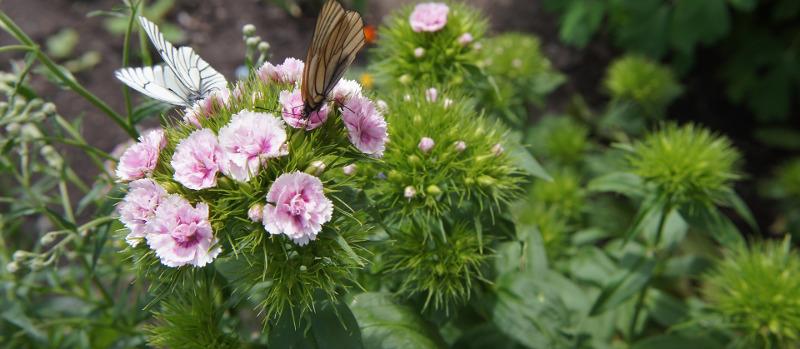 dianthus-plants-with-butterflies.jpg