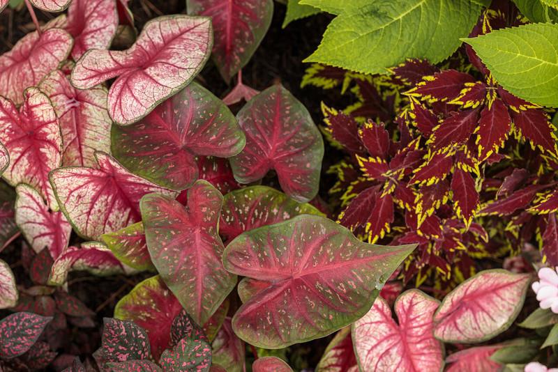 different-caladium-foliage-and-leaves.jpg