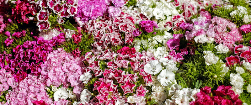 different-carnation-colors.jpg