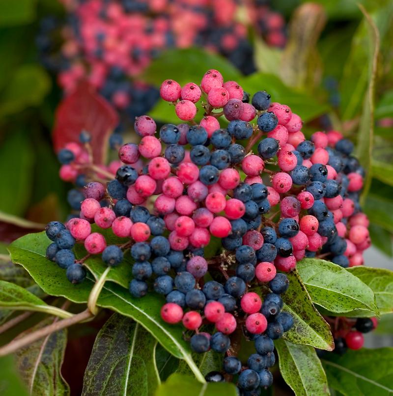 different-colored-viburnum-berries.jpg