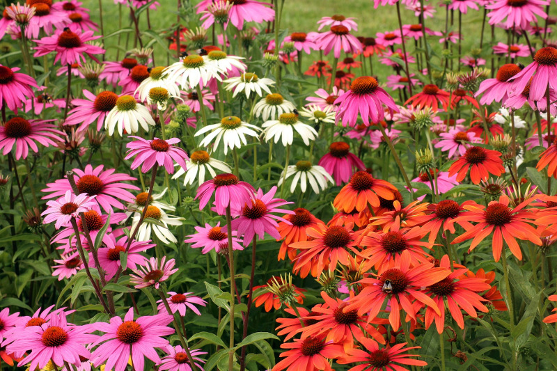 different-colors-of-coneflowers-growing-together.jpg