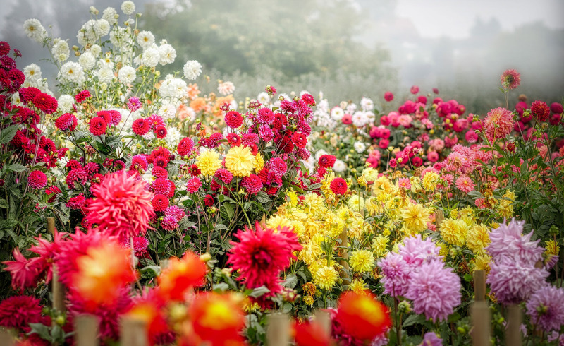 different-types-of-dahlias-blooming-in-the-garden.jpg