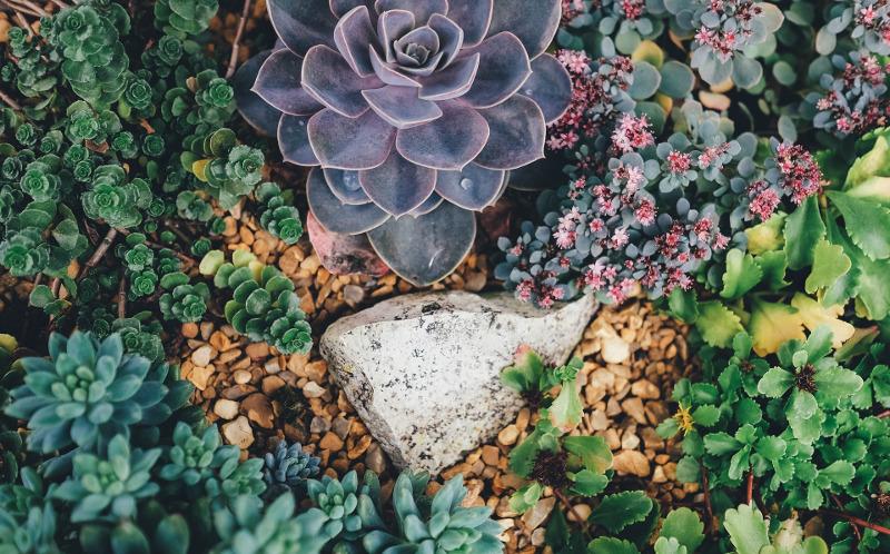 different-types-of-sedum-and-succulents-in-the-garden.jpg