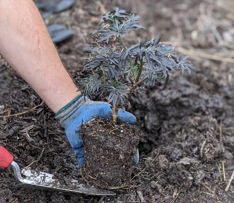 digging-a-hole-for-new-elderberry-shrub.jpg