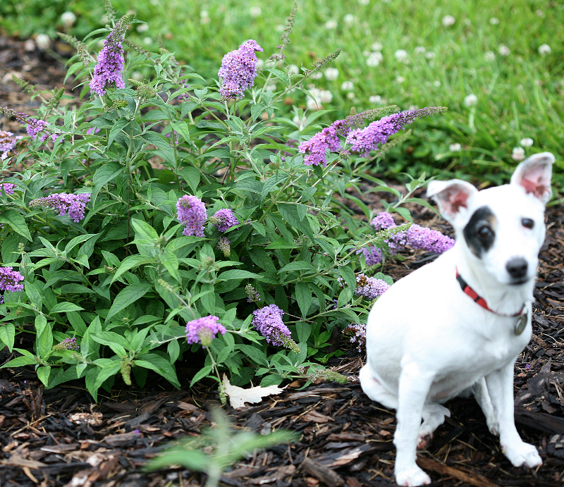 dog-next-to-butterfly-bush.jpg