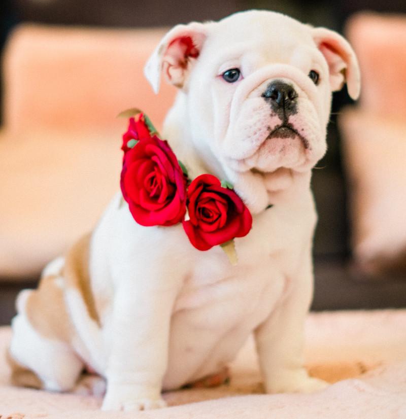 dog-with-rose.jpg