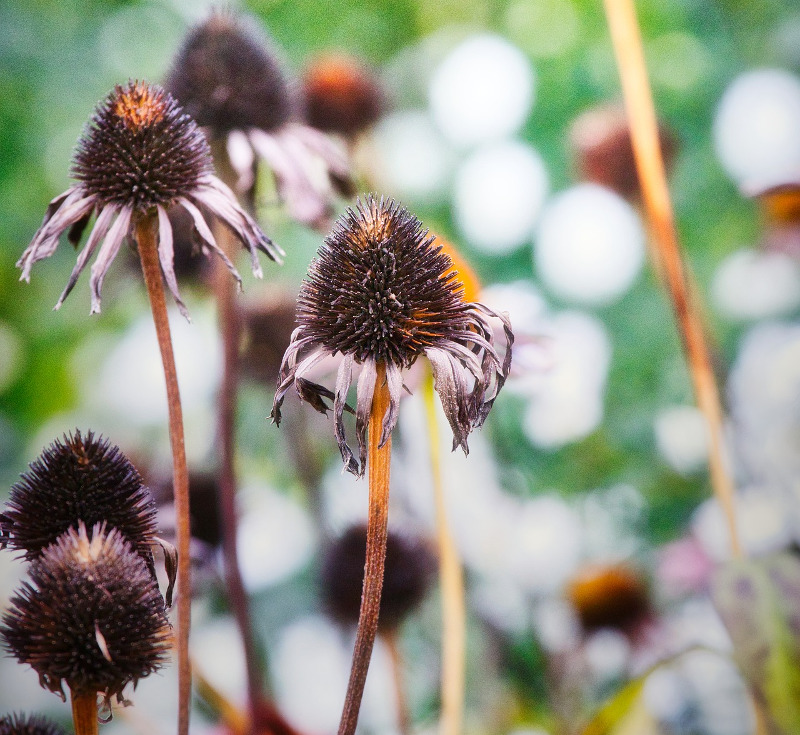 dried-up-coneflowers-in-early-winter.jpg