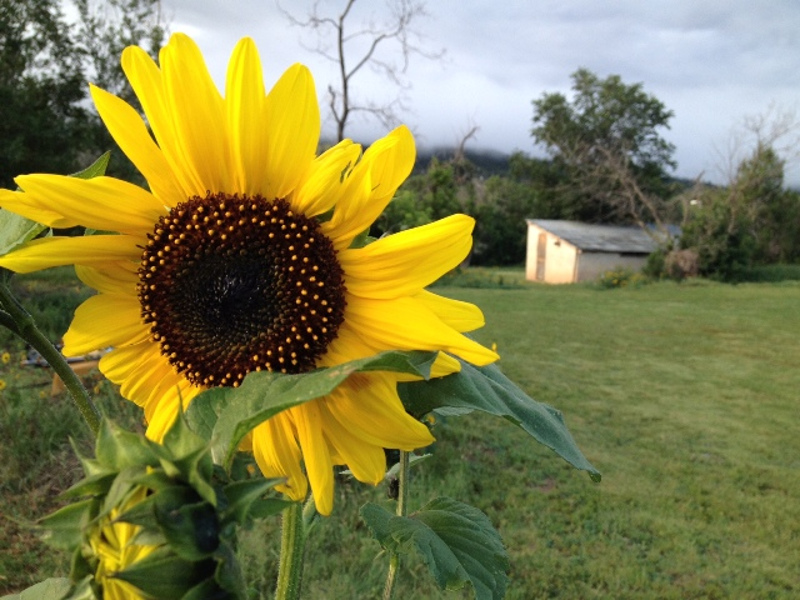 drought-tolerant-sunflowers.jpg