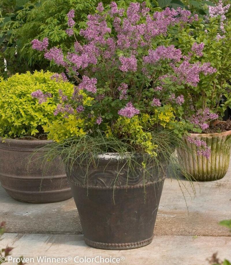dwarf-lilac-in-planter.jpg