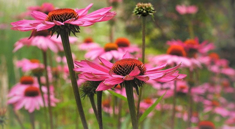 echinacea-purple-coneflowers.jpg