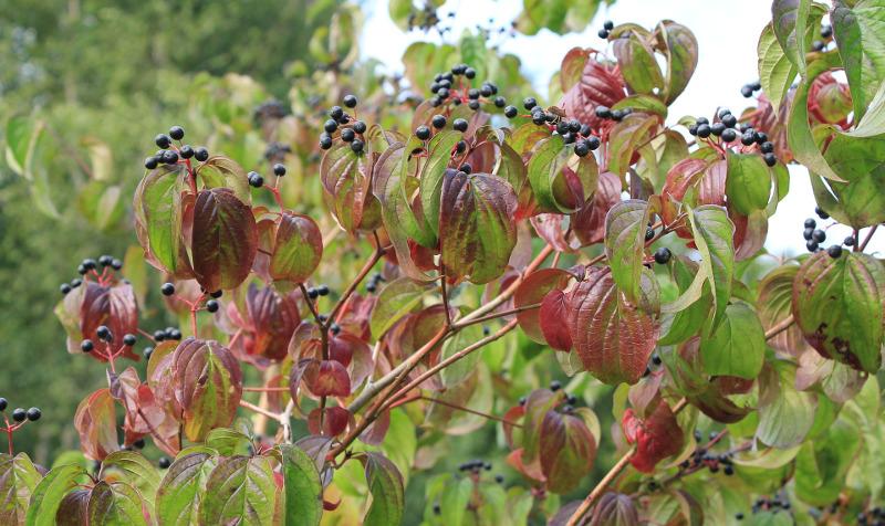 elderberry-shrub-with-berries-in-the-fall.jpg