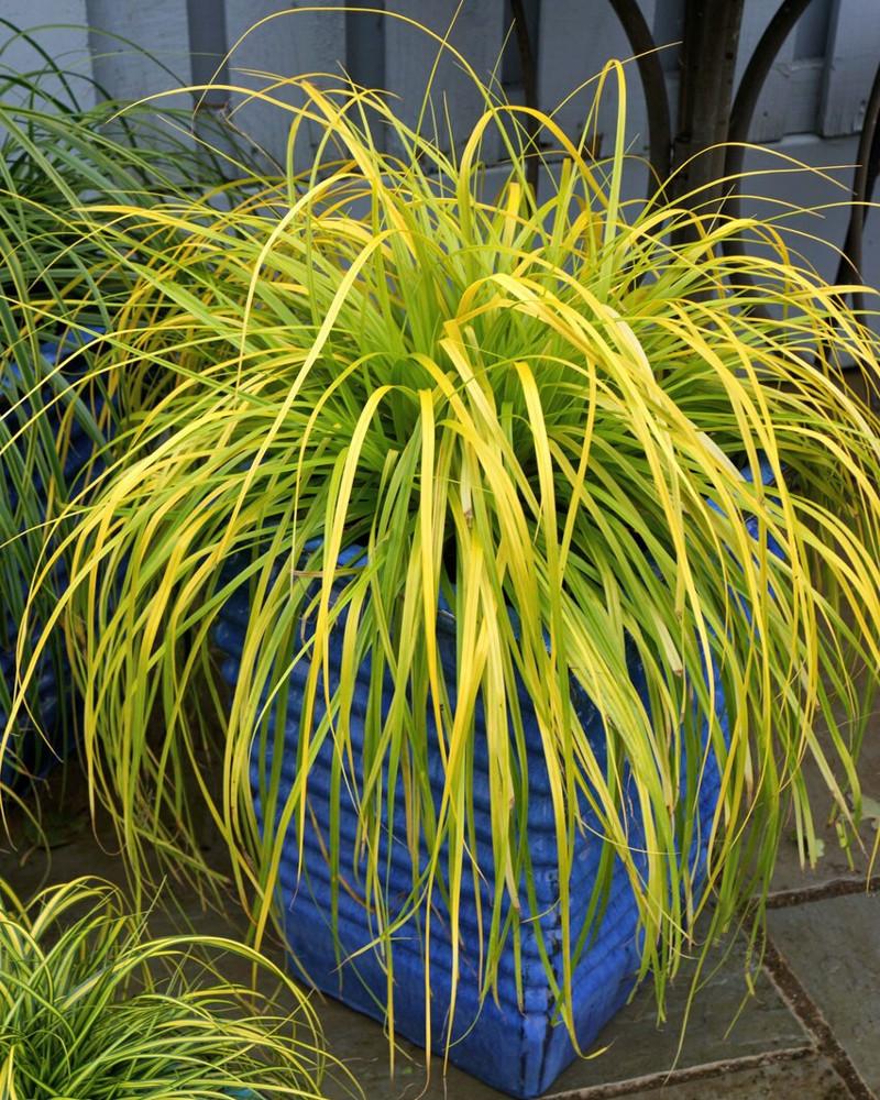 evercolor-everillo-carex-in-garden-planter-66154.1499386484.jpg