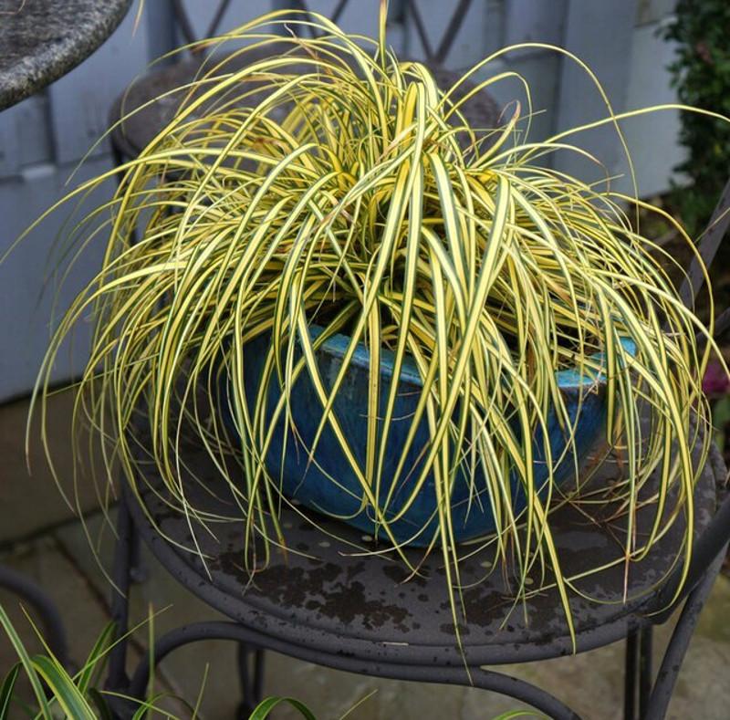 evercolor-everoro-carex-in-garden-planter.jpg