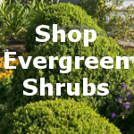 Evergreen Shrubs for Sale