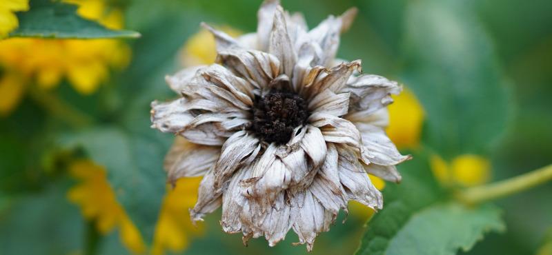 faded-coneflower-bloom.jpg