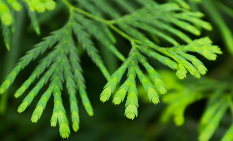 false-cypress-foliage-close-up.jpg