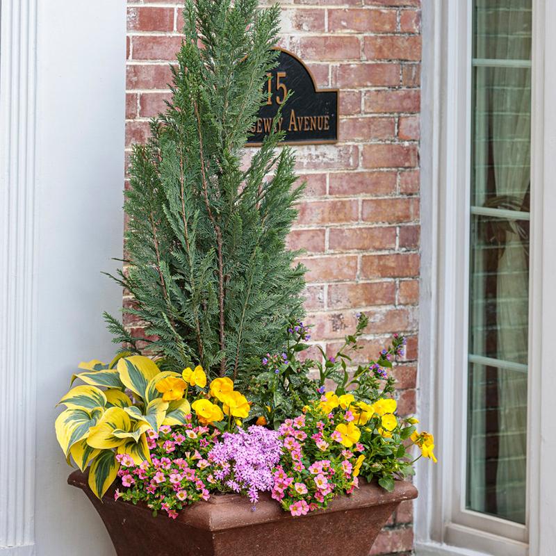 false-cypress-in-garden-planter.jpg