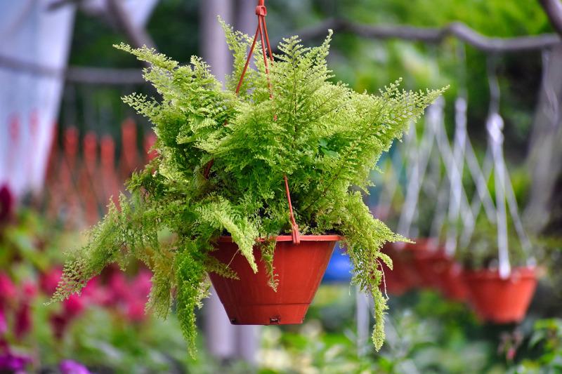 ferns-growing-in-hanging-planters.jpg