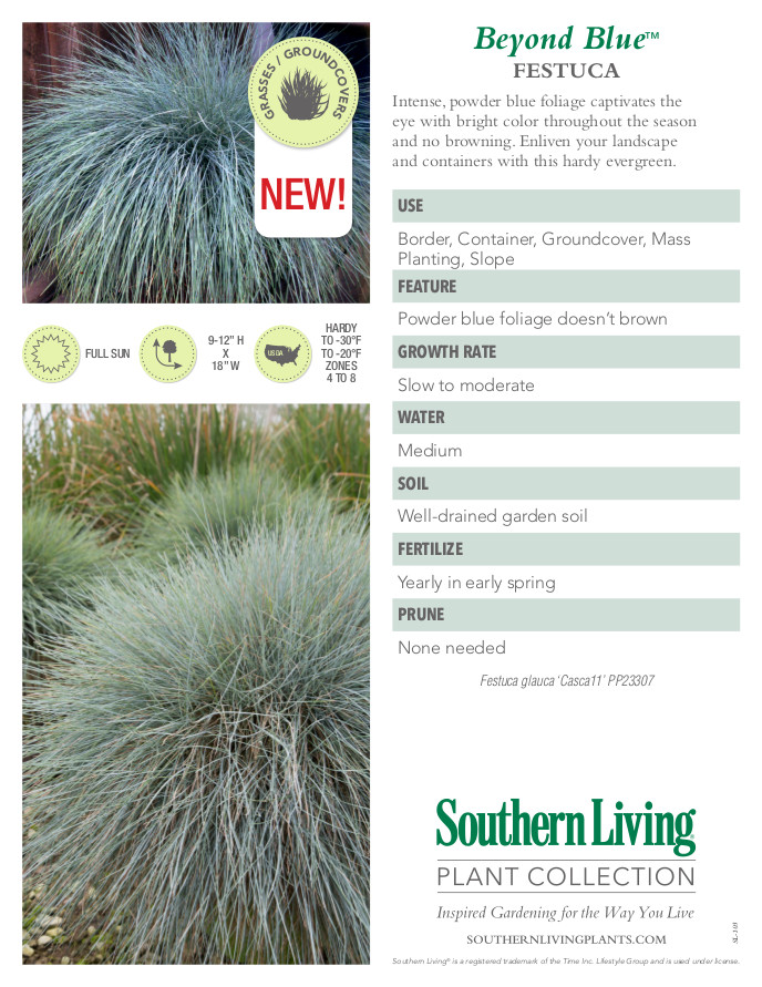 Beyond Blue Festuca Plant Facts