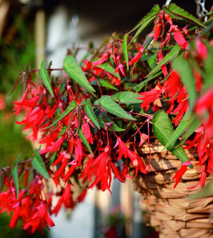 fibrous-begonia-called-a-bonfire.jpg