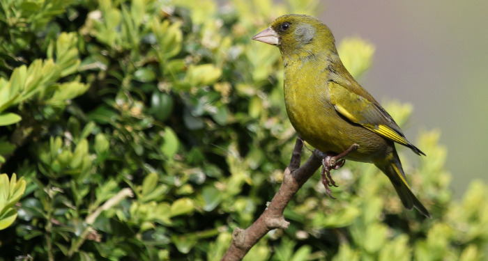 finch-resting-a-in-bush.jpg