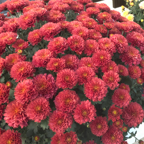 Flamingo Cranberry Red Garden Mum