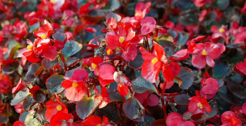 flowering-begonia-plants.jpg