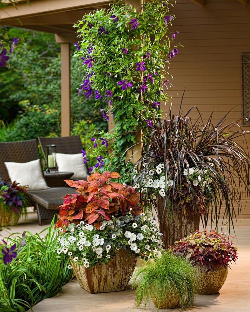 flowering-potted-clematis-growing-up-support-beam.jpg