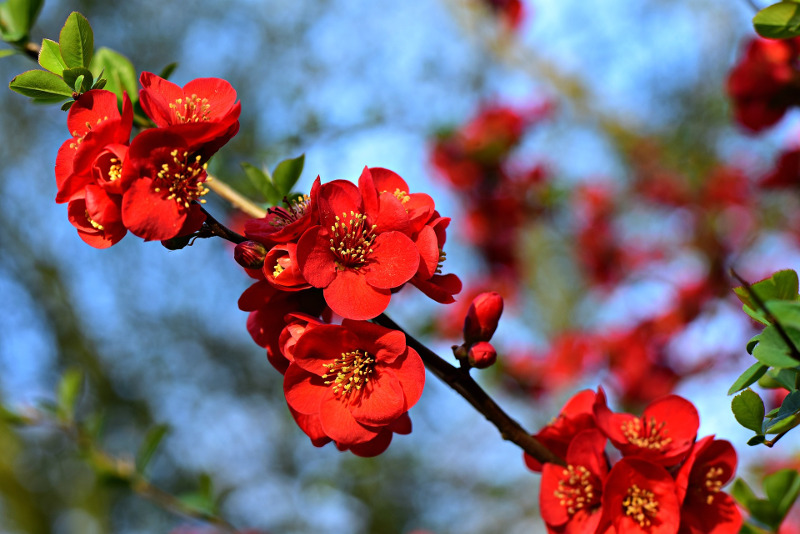 flowering-quince-branch-blooms-and-foliage.jpg