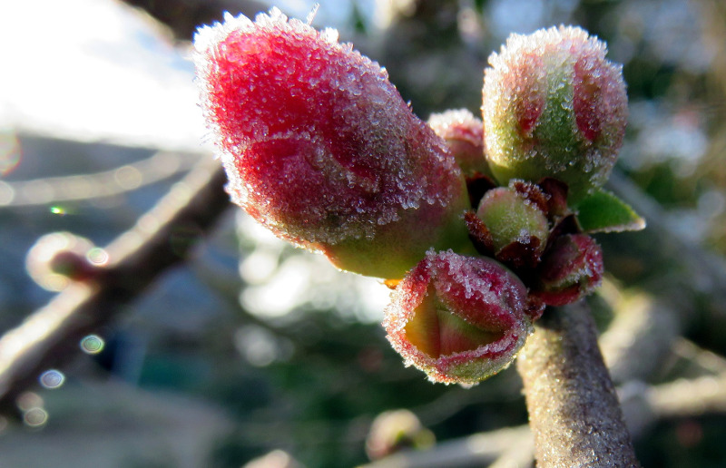 flowering-quince-with-frost-on-the-flower-buds.jpg