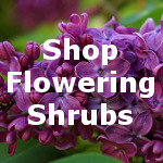 Flowering Shrubs for Sale