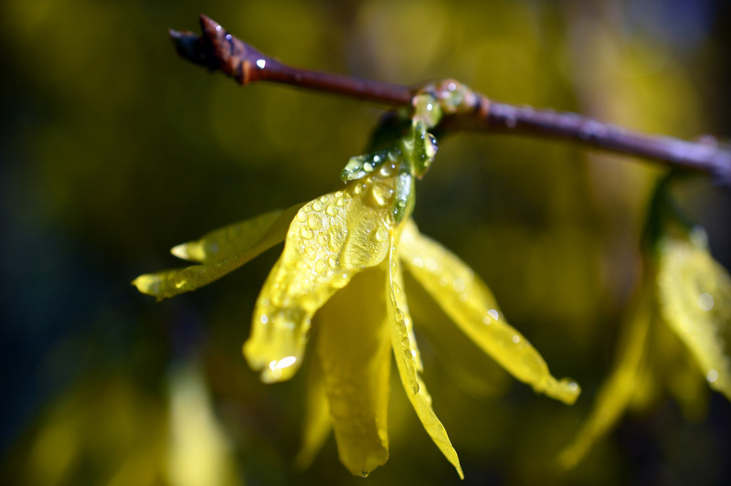 forsythia-with-water-on-the-flower-petals.jpg
