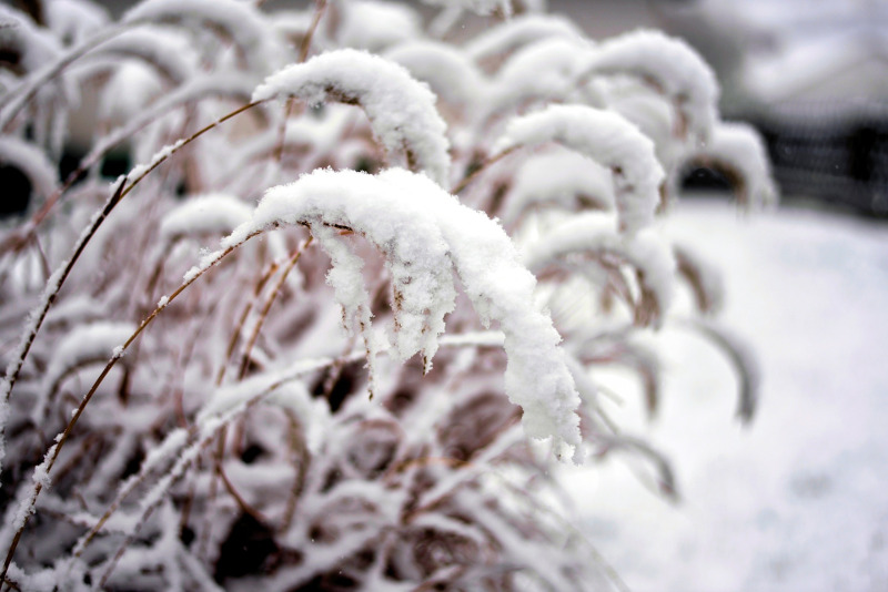 fountain-grass-covered-in-snow.jpg