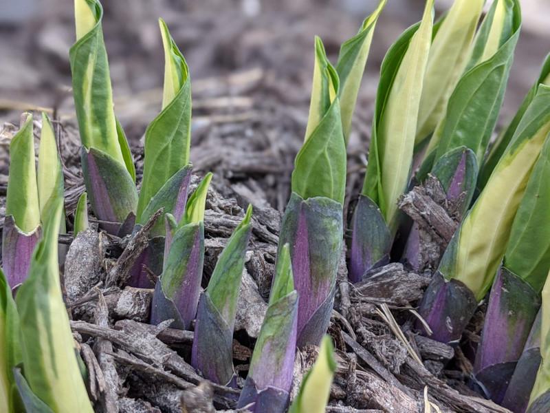fresh-hosta-shoots-in-the-spring.jpg